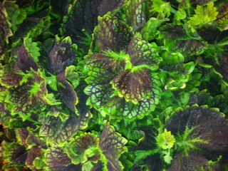 Coleus 'Neptune's Net' which I saw last week at New England Grows in Boston.