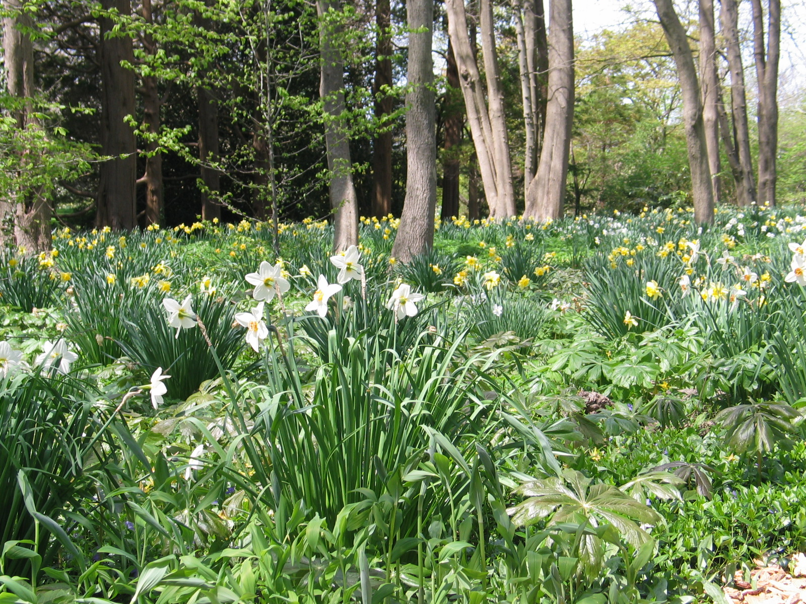 The spring bulbs naturalize in the bosquet section of Blithewold.