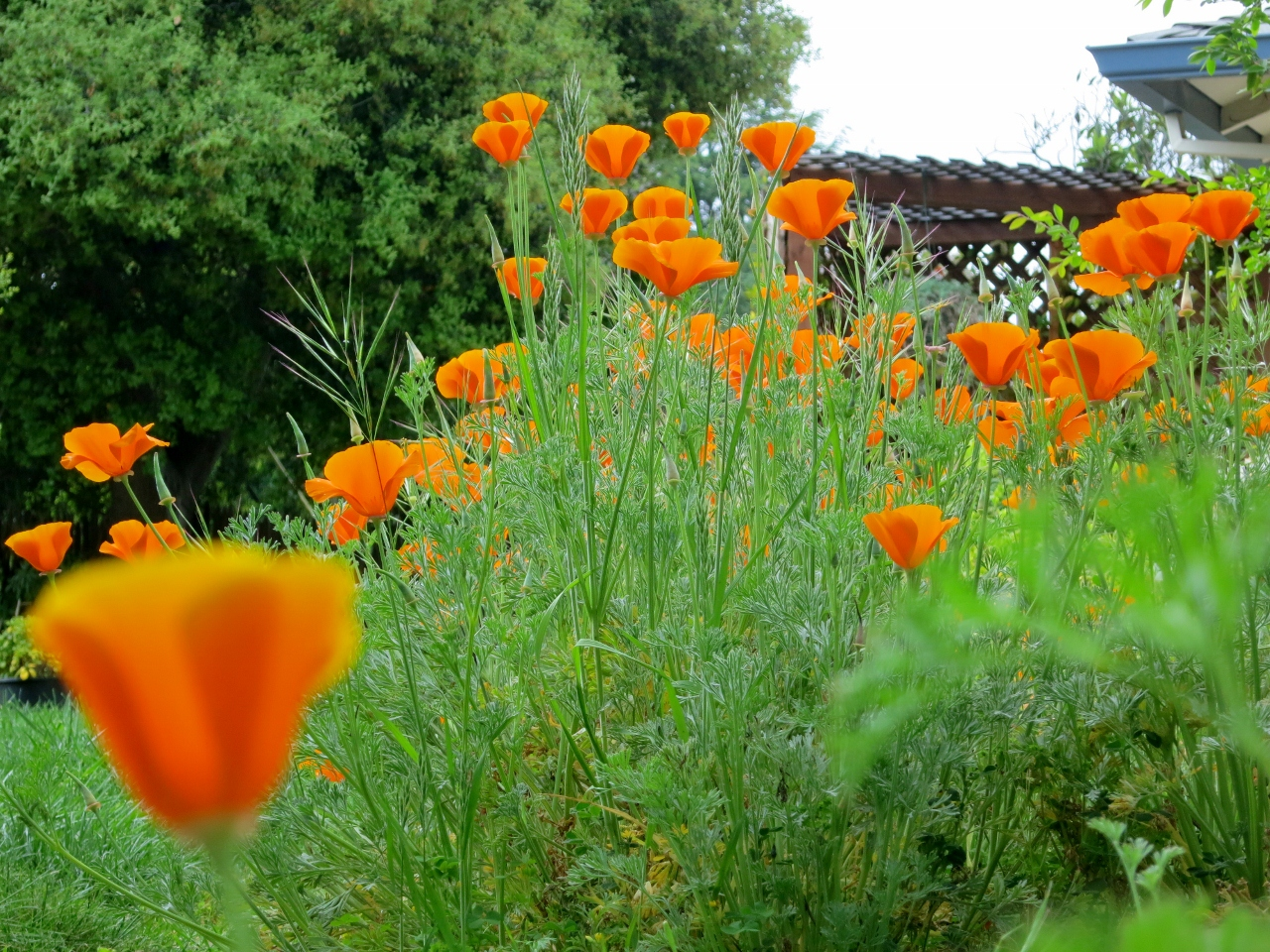 Last week these poppies  in this Califronai garden.